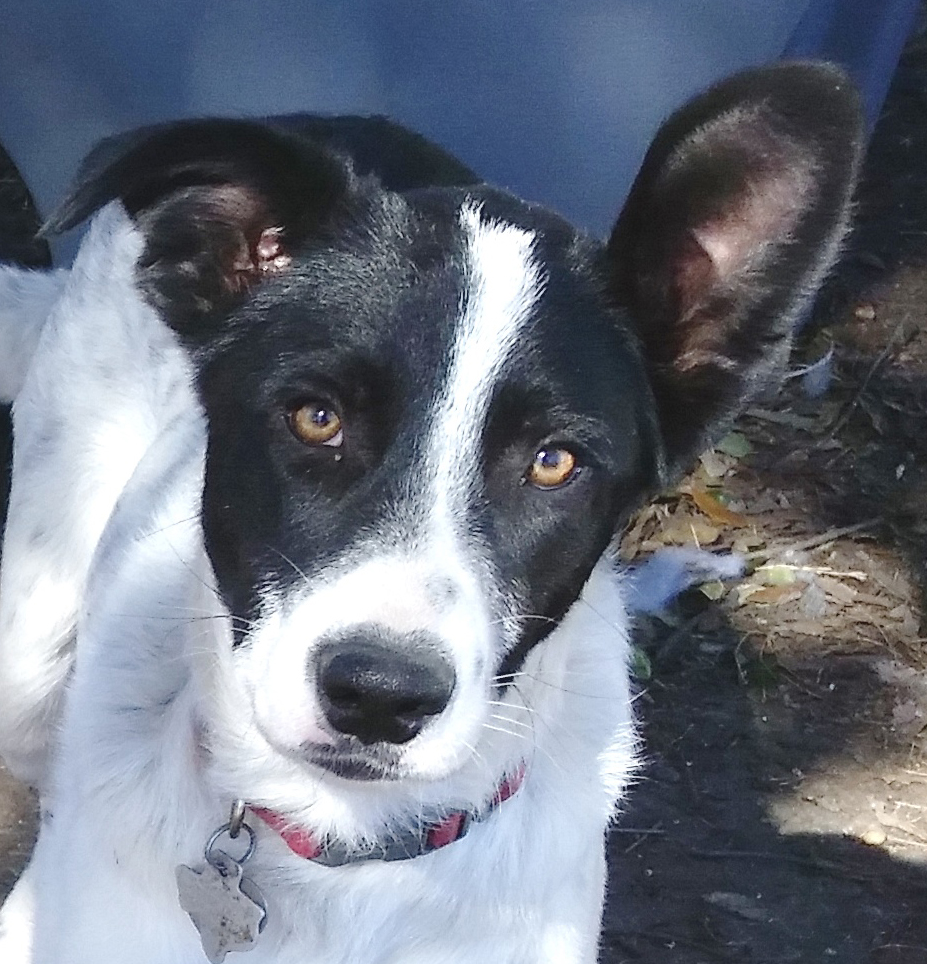 Border Collie Rescue Texas, Inc - Available Dogs For